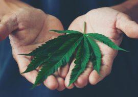 Hasta febrero sabremos si se aprueba o no la marihuana: AMLO
